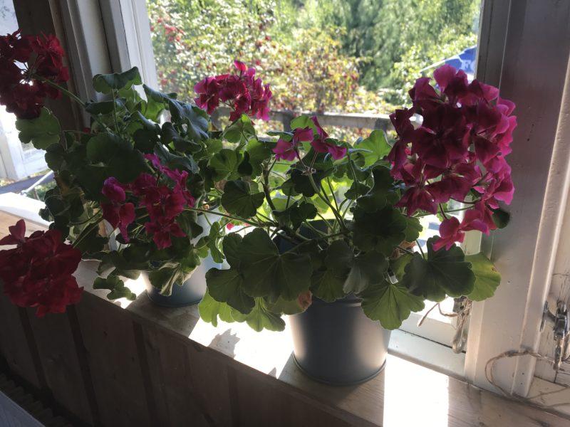 Nu blommar pelargonierna